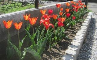 花壇 チューリップ